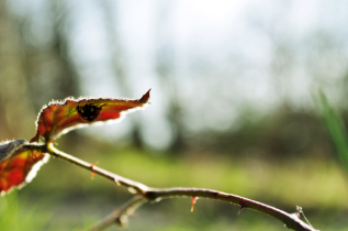 dellaesque - Ladybug