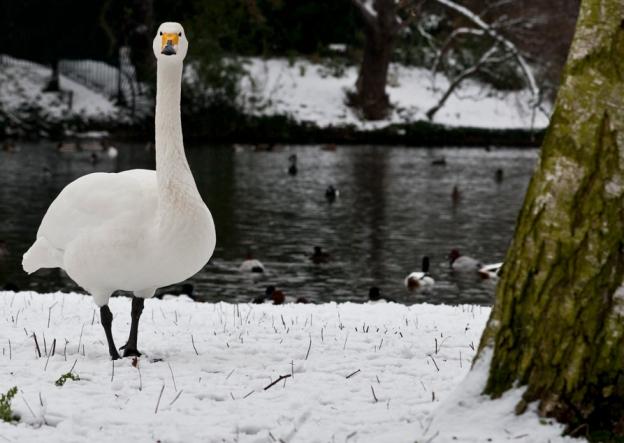 Peeping Swan