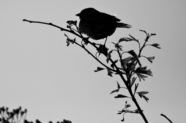 Backlit Reed Bunting
